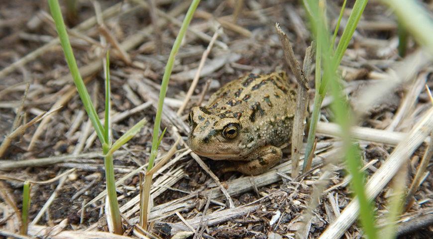 микрорезерват монгольской жабы, Прибайкальский нацпарк