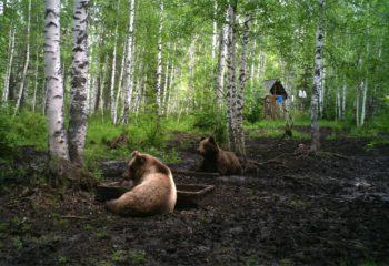 Медведи. численность