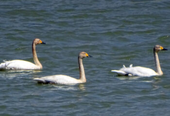 190412-3-00-swan