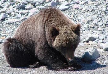 190531-1-00-bear-shaburov