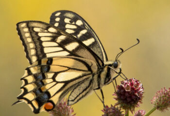190910-1-00-machaon