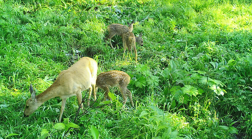 201008-2-00-roe-deer-with-cubs