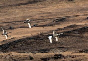 201023-1-00-swans-in-tazheran-steppes