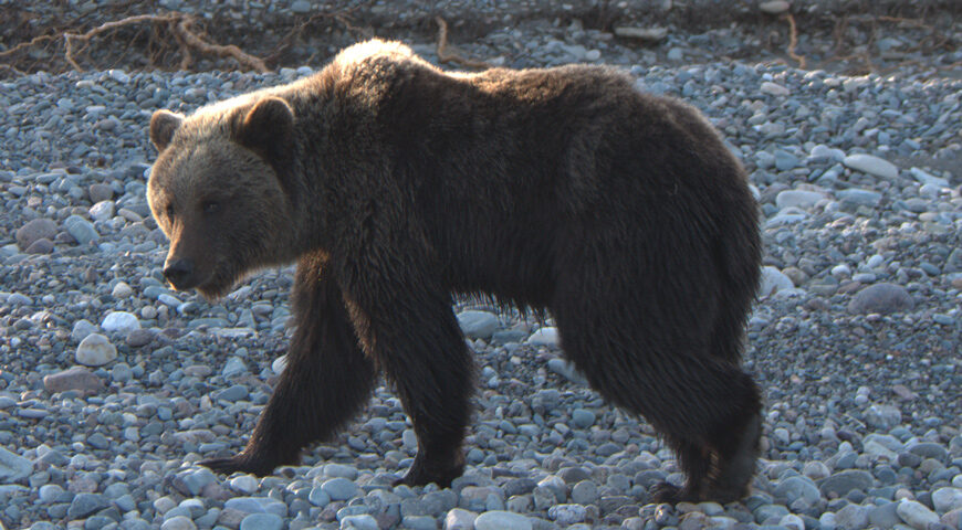 201112-1-00-mother-of-many-bear-cubs-2